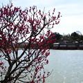 写真: 紅梅と錦水亭