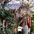写真: 加茂みたらし茶屋の枝垂れ梅