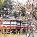 写真: 梅の中の錦水亭