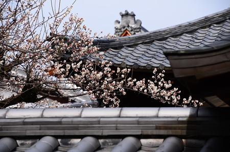 屋根越しの白梅