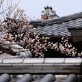 写真: 屋根越しの白梅