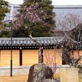 写真: 金戒光明寺の梅