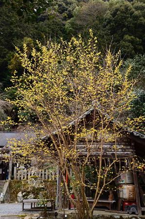 満開の蝋梅(ロウバイ)