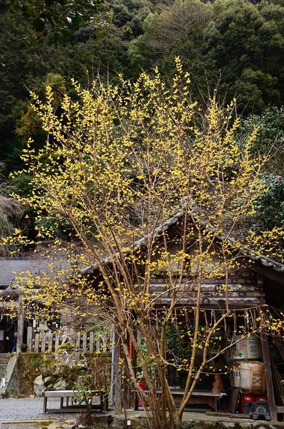 写真: 満開の蝋梅(ロウバイ)