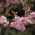 写真: 河津桜(カワヅザクラ)