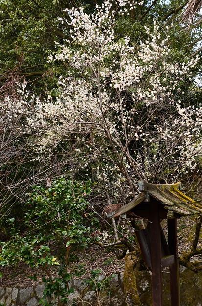 写真: 参道脇の白梅