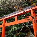 写真: 鳥居の上の白梅