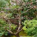 写真: 清宗庵の紅梅