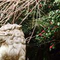 写真: 狛犬と椿