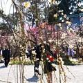 写真: 梅を愛でる人々