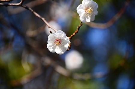 杏似の白梅