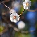 写真: 杏似の白梅