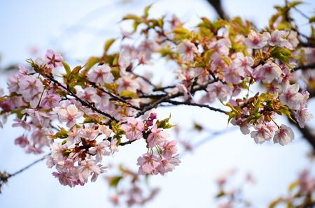 河津桜はもう盛りすぎ、、、