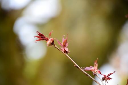 山桜の葉もでて~