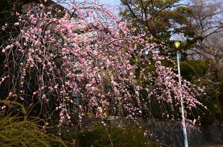 鴨川の枝垂れ梅