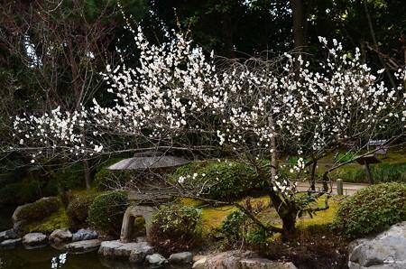 平安の庭の白梅