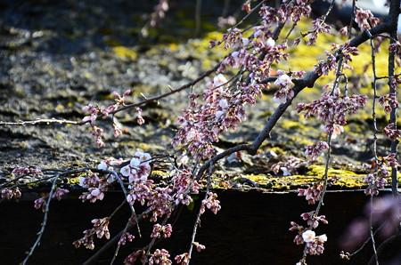 咲き始めた魁桜(サキガケザクラ)