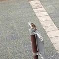 賀茂川のジョビ子ちゃん