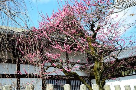 妙顕寺の紅梅