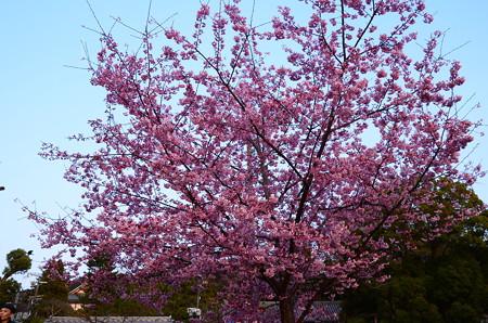 古門前の桜