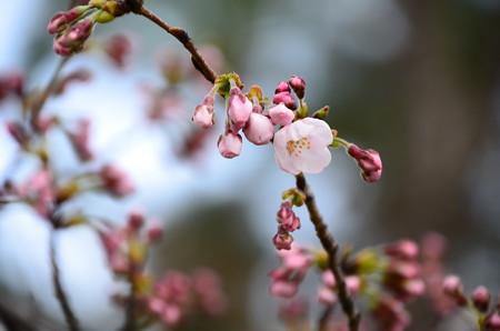 咲き始めた染井吉野(ソメイヨシノ)