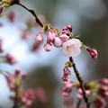 写真: 咲き始めた染井吉野(ソメイヨシノ)