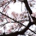 写真: 頭上の桜