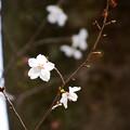 写真: 冬桜(フユザクラ)?