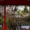 写真: 車折神社の桜風景