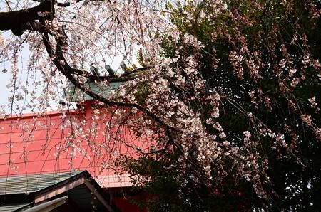 渓仙桜(ケイセンザクラ)