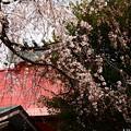 写真: 渓仙桜(ケイセンザクラ)