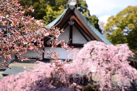 咲き始めた染井吉野と枝垂れ桜