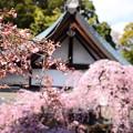写真: 咲き始めた染井吉野と枝垂れ桜