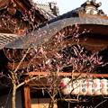 写真: 八坂神社の紅梅