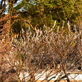 写真: 円山公園の白梅
