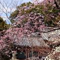 写真: 氷室神社の桜