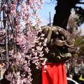 写真: 狛犬と枝垂れ桜