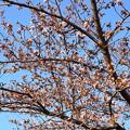 写真: 賀茂川の染井吉野(ソメイヨシノ)
