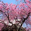 写真: 満開の紅枝垂れ(ベニシダレ)