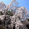 写真: 魁桜(サキガケザクラ)