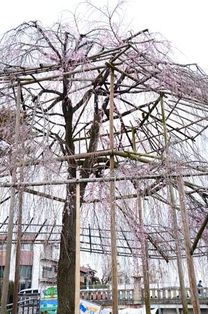 鴨川公園の枝垂れ桜
