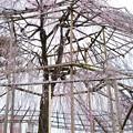 写真: 鴨川公園の枝垂れ桜