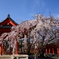 写真: 三十三間堂の枝垂れ桜
