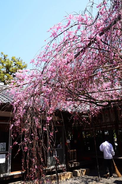 写真: 水火天満宮の紅枝垂れ(ベニシダレ)