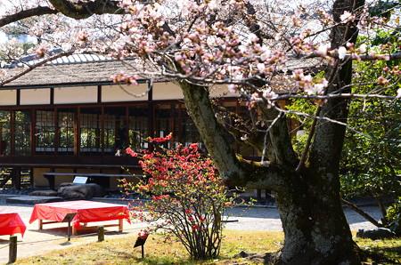 木瓜と染井吉野咲く枳殻邸