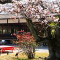 写真: 木瓜と染井吉野咲く枳殻邸