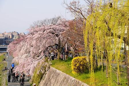枝垂れ桜と枝垂れ柳の鴨川