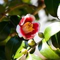 写真: 円照寺の椿