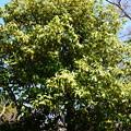 写真: 樒の大木