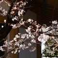 写真: 染井吉野もちらほら咲きに